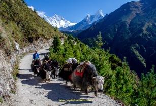 pretty yaks in a pretty place