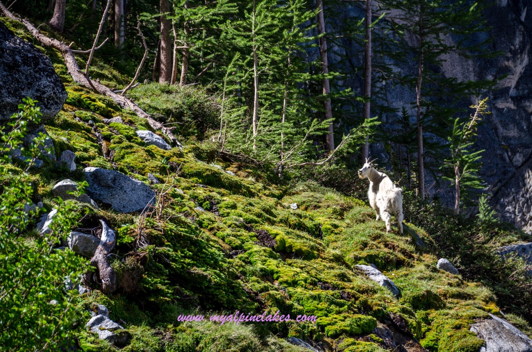 Goat looking back at us curiously