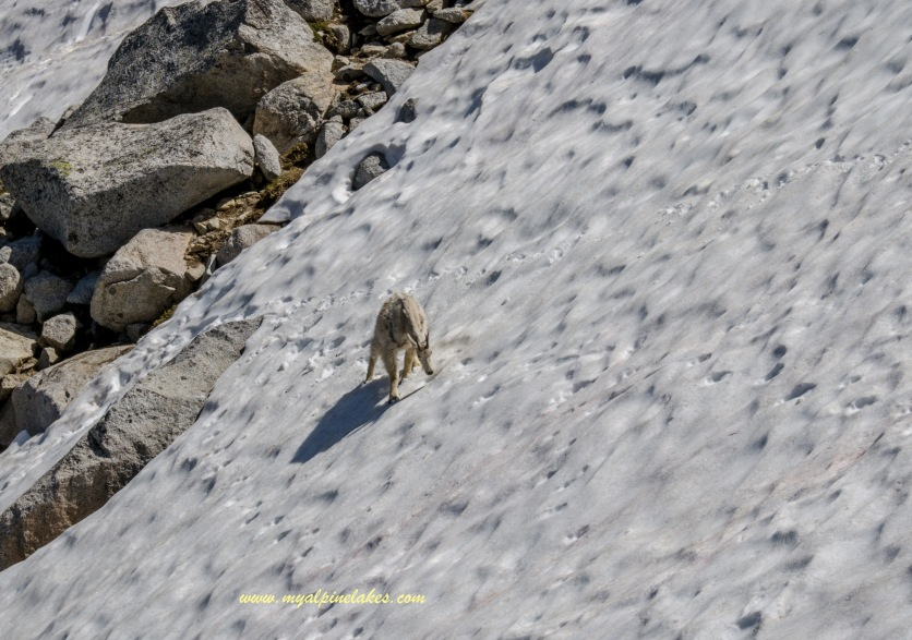 Even this goat was having trouble crossing a slippery snowfield