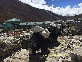 Yaks carrying loads through Tengboche
