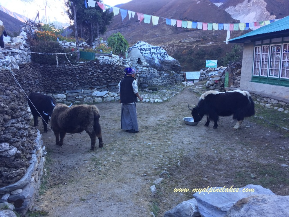 A woman feeding baby yaks and painting their horns while the yaks trying to figure out the rules of this world.