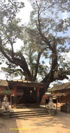 enormous tree next a monastery