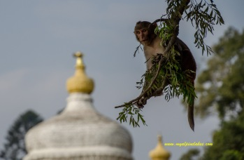 A monkey looking out the temples
