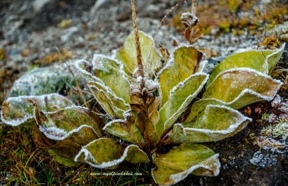 frosted plants on the way up Gokyo Ri