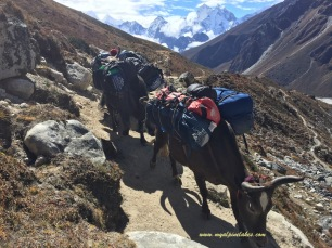 Yaks carrying the burden up high in altitude. Giant peaks watch on silently in the distance.
