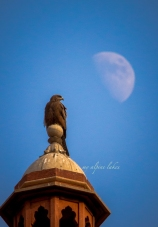 A hawk and his moon