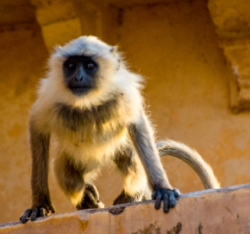 One of many monkeys jumping from roof to roof in the palace.