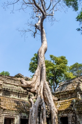 Ta Prohm temple is perhaps one of the most well known in Angkor Wat. In my mind, it became mainstream in the western world by Angelina Jolie's Tomb Raider movie.