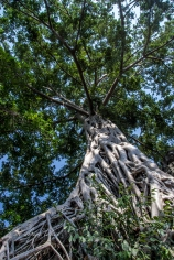 An enormous Banyan tree and its tortuous roots.