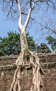 These roots penetrate wall to ambitiously support the weight of the tree trunk. The wall will eventually collapse and bring the tree down with it.