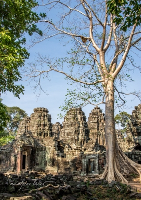 Giant Banyan tree next to a dilapidated temple
