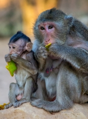 A baby monkey sharing a green mango with mom