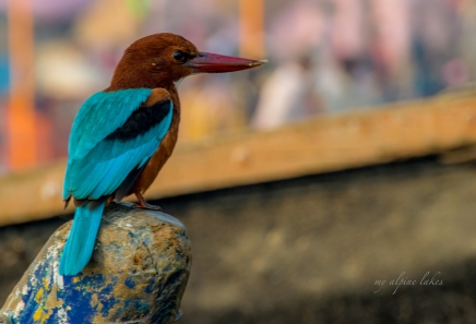 A beautiful kingfisher caught a little fly standing on the bow of a rowboat.