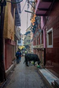 Animals roam the streets in Varanasi.