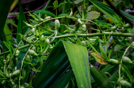This is a crazy plant that I have no seen anywhere else except on the Kalalau trail.